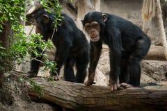 Deux singes dans le zoo - deux singes de chimpanse extérieurs Photographie stock libre de droits