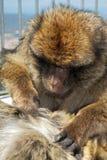 Deux singes de Barbarie, Gibraltar Images stock