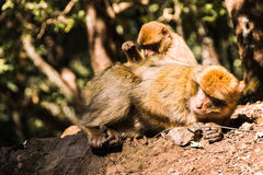 Deux singes de macaque brarbary épouillant, Ifrane, Maroc Photographie stock libre de droits