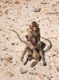 Deux singes humides se reposent au sol Photo libre de droits