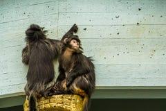 Deux singes javan de lutung ensemble, primats tropicaux de l'île de Java de l'Indonésie, espèce animale vulnérable image libre de droits