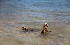 Deux singes se baignent dans l'Océan Indien Photo libre de droits