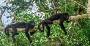Deux singes se reposant sur un arbre dans la forêt tropicale par Tikal - le Guatemala image libre de droits