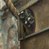 Deux singes trois-rayés de nuit, trivirgatus d'Aotus, coup d'oeil hors d'une maison photo stock
