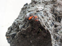 Deux soldats de scarabées Photographie stock