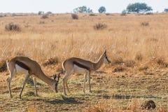 Deux springboks Photographie stock