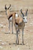 Deux springboks Photo stock