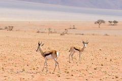 Deux springboks Photos stock