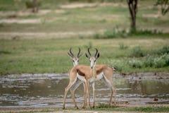 Deux springboks se tenant le premier rôle à l'appareil-photo Photographie stock