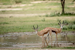 Deux springboks se tenant le premier rôle à l'appareil-photo Photo libre de droits