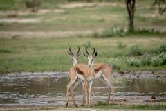 Deux springboks se tenant le premier rôle à l'appareil-photo Image libre de droits