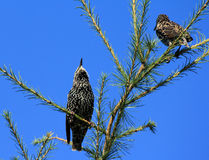 Deux starlings Photographie stock