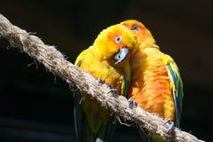 Deux Sun Conure, perroquets jaunes, se blottissant dans un arbre Images libres de droits