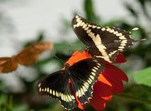 Deux Swallowtail géant (cresphontes de Papilio) Photos stock