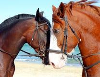 Deux têtes de beaux chevaux Photos stock