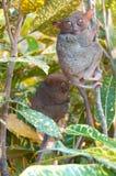 Deux tarsiers Photographie stock libre de droits