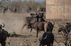 Deux taureaux africains de Buffalo fermant à clef des klaxons Images libres de droits