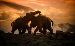 Deux taureaux d'éléphant agissent l'un sur l'autre et communiquent tandis que combat de jeu Image stock