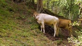 Deux taureaux frôlant l'herbe verte sur la montagne à l'été banque de vidéos