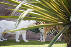 Deux tigres Photo stock