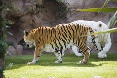 Deux tigres Images libres de droits