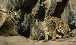 Deux tigres Photos stock
