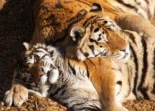 Deux tigres de sommeil Images stock
