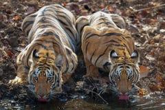 Deux tigres de subadult driking l'eau au point d'eau Image stock