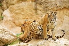 Deux tigres indochinois adultes images libres de droits