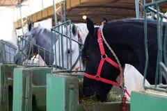 Deux tirs de deux chevaux de pur sang dans la grange, mangeant Image libre de droits