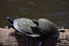 Deux tortues Photographie stock libre de droits