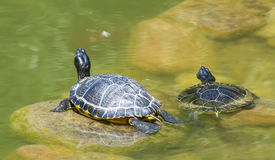 Deux tortues Photos stock