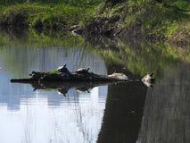 Deux tortues américaines dans l'étang image stock