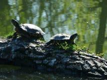 Deux tortues américaines dans l'étang tchèque photographie stock libre de droits