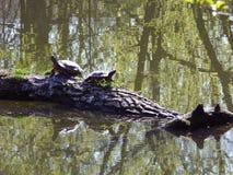 Deux tortues américaines sur une branche photo stock