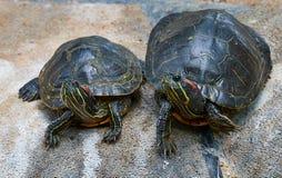 Deux tortues aux yeux rouges se reposant sur une roche photos stock