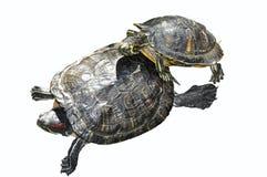 Deux tortues dans l'amour d'isolement sur le blanc Photographie stock