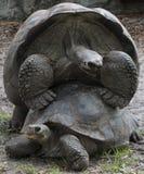 Deux tortues de accouplement Photo libre de droits
