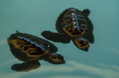 Deux tortues de mer de bébé Photographie stock
