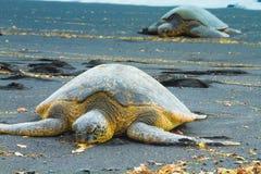Deux tortues de mer verte Photos stock