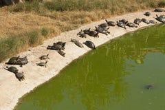 Deux tortues exposant au soleil la photo Image stock