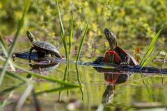 Deux tortues peintes sur un rondin Images libres de droits