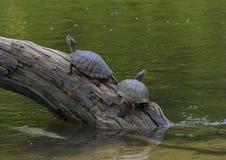 Deux tortues Rouge-à oreilles de glisseur d'étang sur un rondin appréciant le soleil en rivière en parc de Watercrest, Dallas, le photographie stock