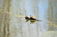 Deux tortues sur un membre d'arbre Images stock