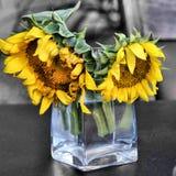 Deux tournesols dans le vase en verre Photographie stock