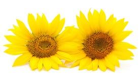 Deux tournesols jaunes photographie stock libre de droits