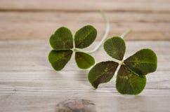 Deux trèfles de quatre-feuilles pour la bonne chance Photo stock