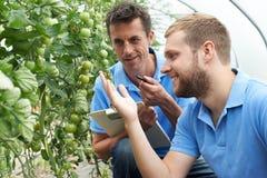 Deux travailleurs agricoles de sexe masculin vérifiant des plantes de tomate dans Greenhou image libre de droits