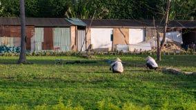 Deux travailleurs sur un champ avec les chapeaux traditionnels de riz au Vietnam Photographie stock