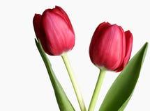 Deux tulipes image stock